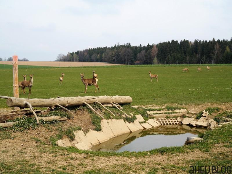 Rothirschkühe mit Teich in großem Gehege