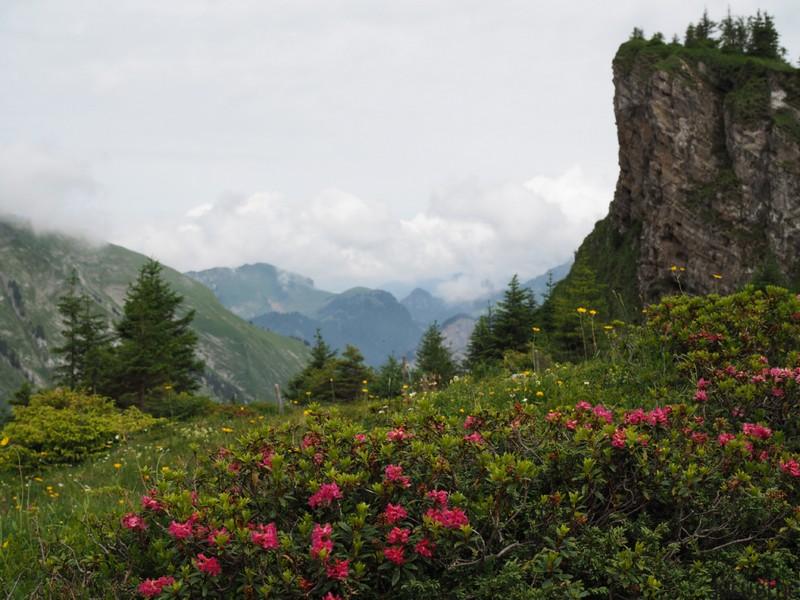 Alpenrosen vor Bergpanorama
