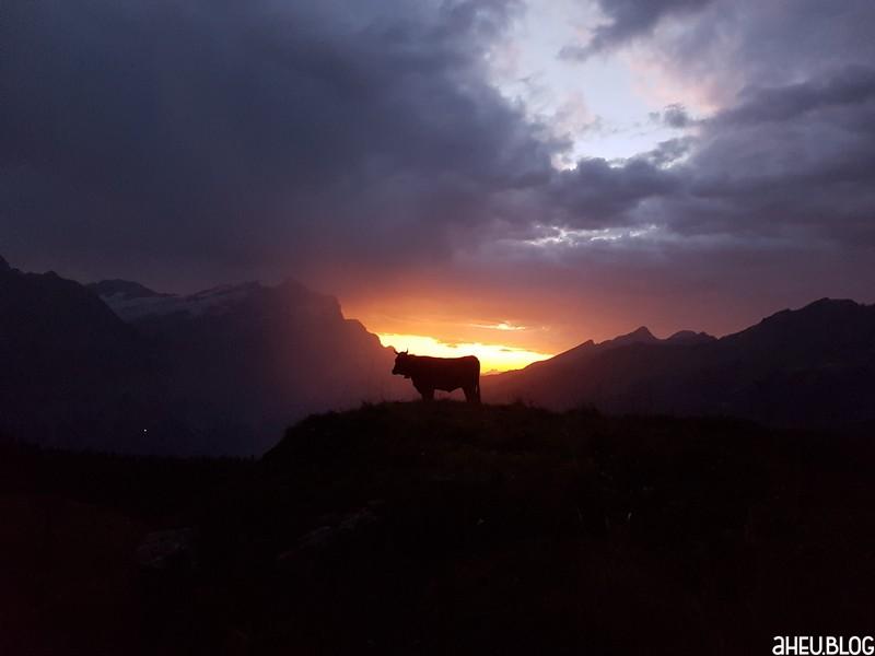 Kuh in den Bergen bei Sonnenaufgang