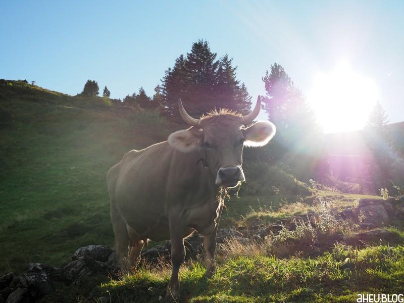 Braunviehkuh vor Abendsonne