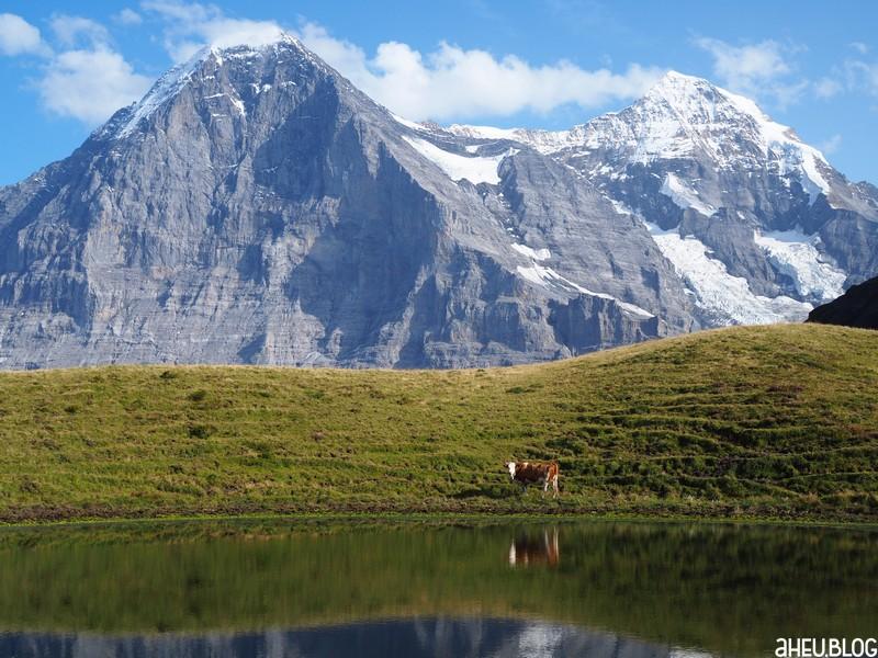 Simmentalkuh an See vor Eiger Nordwand