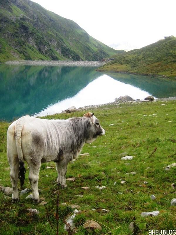 Grauviehkalb vor Gebirgssee