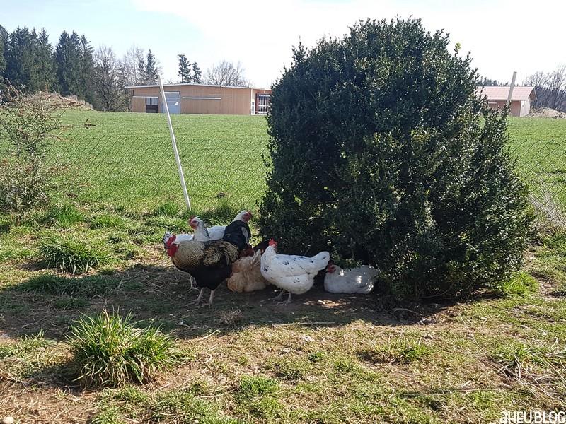 Hühner unter Busch
