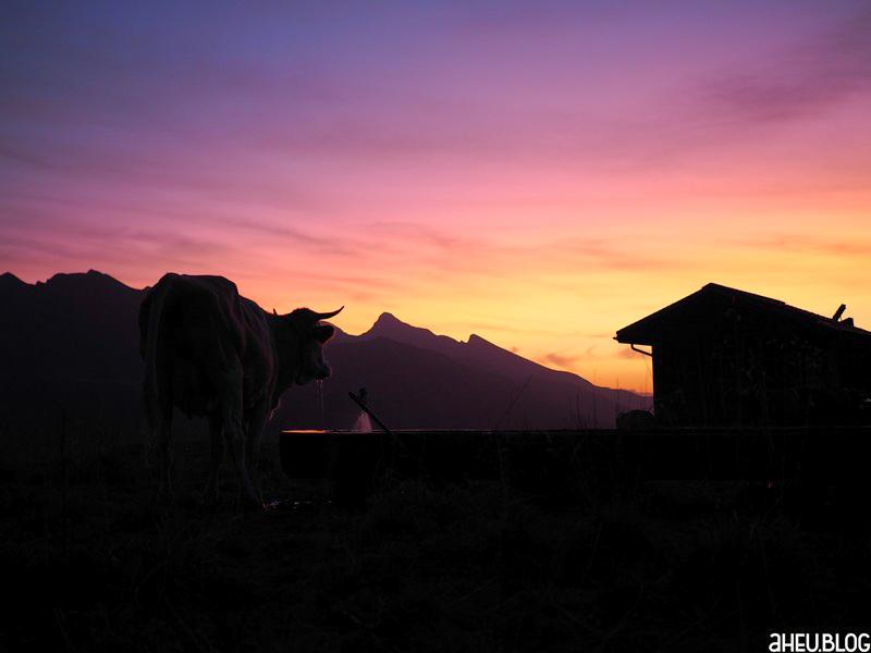 Kuh vor Morgenrot in den Bergen